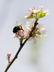 bumblebee on apple flower