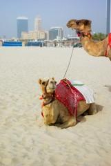 Camel on Jumeirah Beach.
