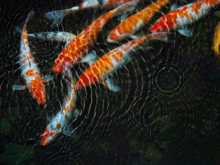Koi fish with water ripple