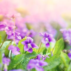 Wall Mural - Sweet Violets (viola odorata)