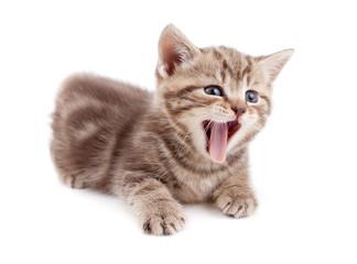 Photo Sur Toile - Yawning striped Scottish kitten lying isolated
