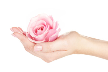 Pink rose with hands on white background