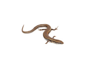 lizard on a white background