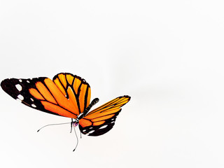 Butterfly on white
