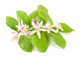 Branch of a lemon tree with flowers