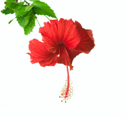 Hibiscus Flower isolated on white