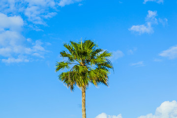 crown of palm tree
