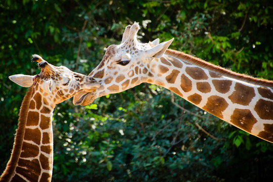 Giraffe female with her young