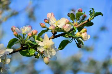 Apfelblüten mit blauem Himmel