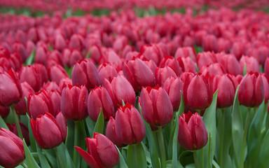 Bellissimi tulipani