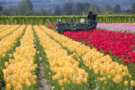 Harvesting tulips, Woodland WA.