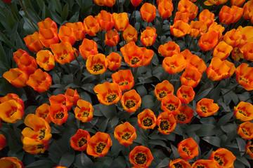 Cerca immagini sbocciati for Tulipani arancioni
