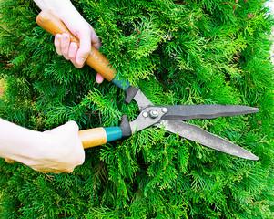 Hands with garden shears cut the green thuja