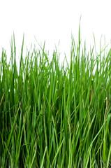 Grass on white background vertical
