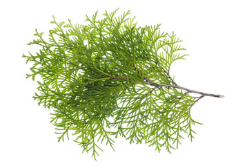 Isolated branch a thuja