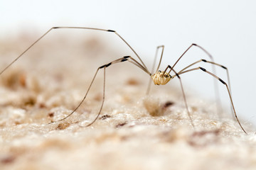 Granddaddy longlegs spider