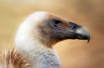 Wildlife Photos - Vulture