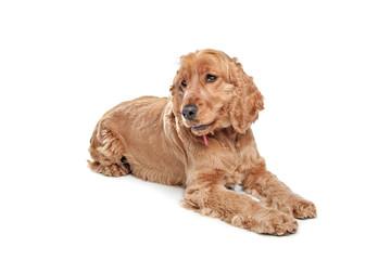 Brown cocker spaniel dog