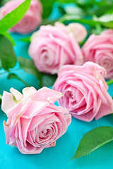 Beautiful pink roses on a blue background