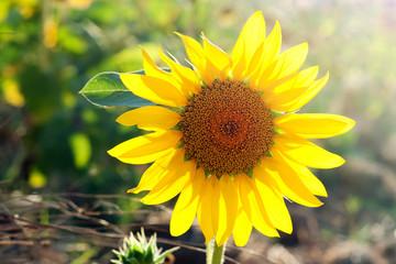 Beautiful sunflower head