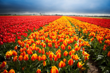 dutch tulips in countryside