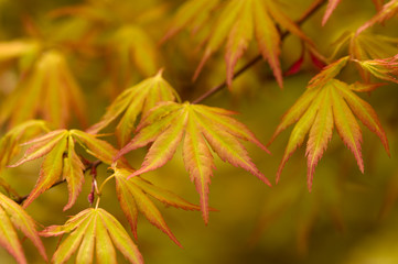 japanese acer leaves