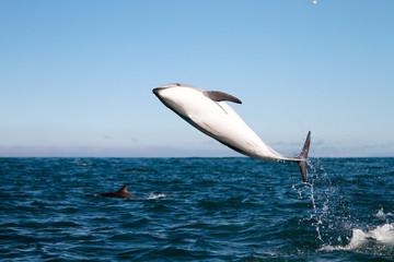 Fond de hotte en verre imprimé Dauphins Dusky dolphin jumping