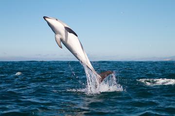 Photo sur Aluminium Dauphins Dusky dolphin jumping