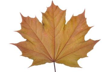 Single maple leaf on white background