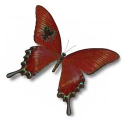 Albania flag on butterfly