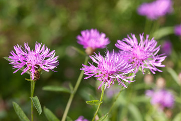 Thistle flowers in a summer