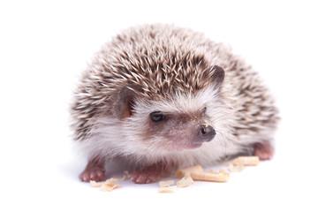 Hedgehog isolation white background