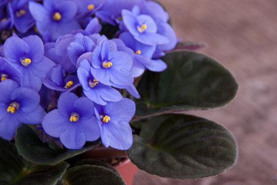Violet Saintpaulia