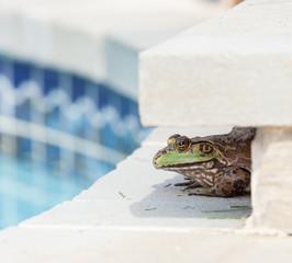 Bullfrog crouching under edge of pool