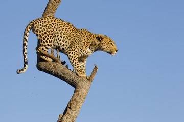 In de dag Luipaard Leopard in tree, South Africa