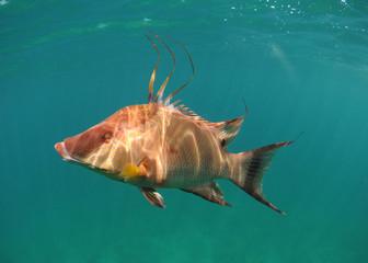 Wall Mural - Hogfish swimming underwater