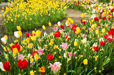 Colorful daffodils and tulips in spring