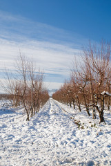 orchard in the morning in winter
