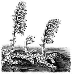 Common Toothwort (Lathraea squamaria).
