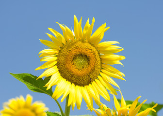 sunflower and bee on a blue sky background