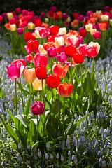 Tulips and lightblue common grape hyacinths