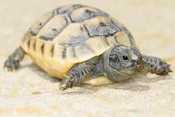 juvenile of spur-thighed turtle  / Testudo graeca ibera