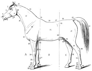 The external form of the horse