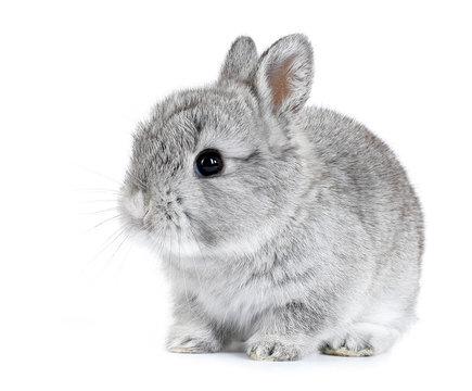 Gray rabbit bunny baby isolated on white background