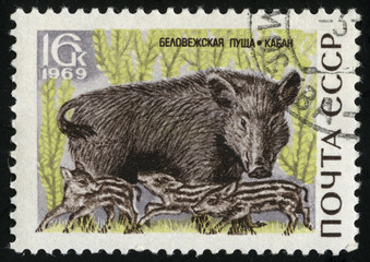 Wild boar, series Animals from Bialowieza Forest Reserve