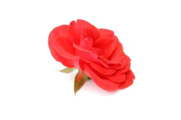 цветок на белом фоне