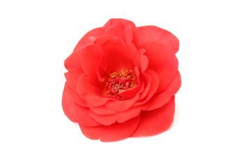 роза цветок на белом фоне