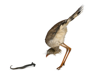 Red-legged Seriema or Crested Cariama, Cariama cristata