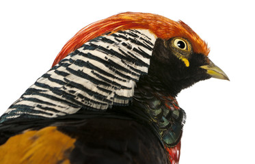 Close up of Male Golden Pheasant or 'Chinese Pheasant'