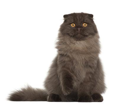 Portrait of Scottish Fold cat, 5 months old
